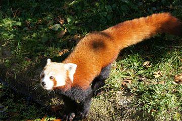 Nieuwsgierige kleine panda van Ronald en Bart van Berkel