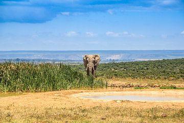Afrikanischer Elefant von Ivo de Rooij