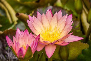 lotus sur Karl-Heinz Lüpke