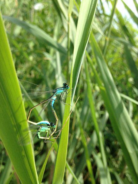 de prachtige libellen  von Gijs Van son