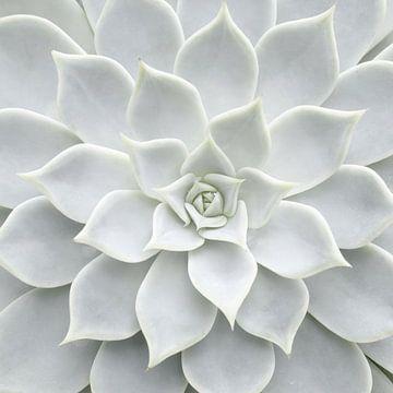 White Succulent van David Potter