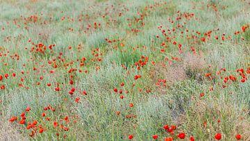 Mohn auf einem Feld von Daan Kloeg
