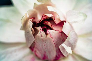 Paarse / witte Lotus bladeren van dichtbij in de Amazone jungle van Peru van John Ozguc