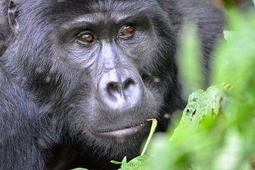Hochland-Gorillas, Uganda von Jan Fritz