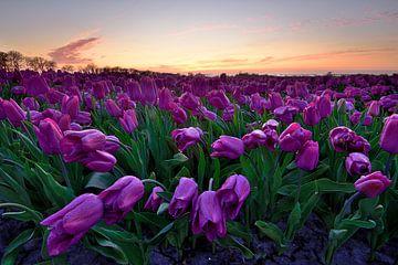 Fuchsiafarbene Tulpen bei Sonnenuntergang von John Leeninga