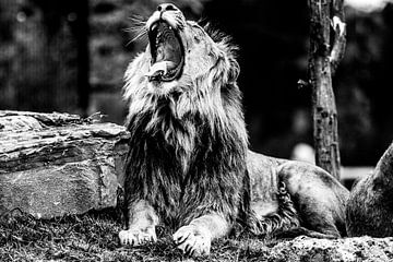 Gapende leeuw von Joan le Poole