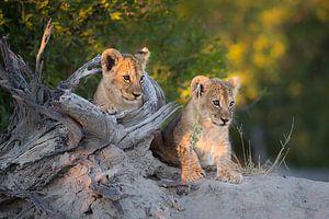 Lion cubs on the lookout sur Jos van Bommel
