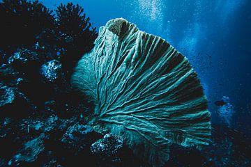 Fan Coral Indonésie sur Marco Vet