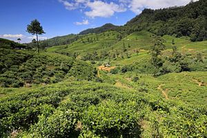Theevelden in Sri Lanka