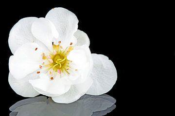 Bloeiende kersenbloesem in het voorjaar van
