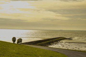 Schapen op de Waddendijk van Arie Jan van Termeij