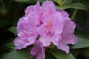Rhododendron pourpre sur whmpictures .com