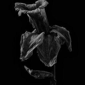 Stilleven Narcis in zwart wit van Steven Dijkshoorn