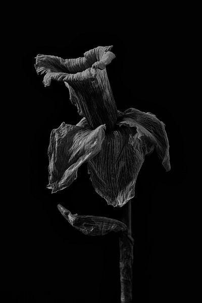 Stillleben Narzisse in Schwarz und Weiß von Steven Dijkshoorn