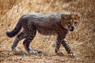 3 maanden Cheetah van Peter Michel