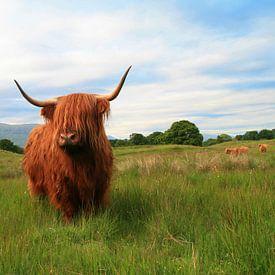 Schotse Hooglanders collectie