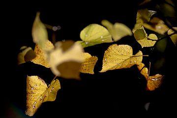 Lindenblatt im späten Sonnenlicht von Ben ter Mull