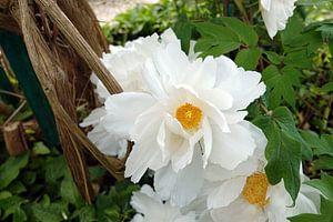 Witte Californische Romneya in tuin van Monet  van