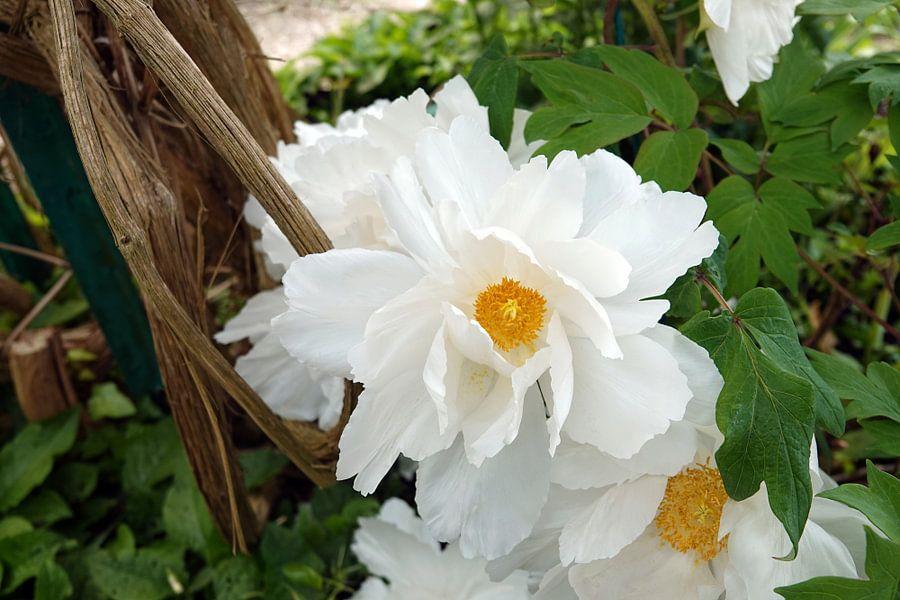 Witte Californische Romneya in tuin van Monet  van Aagje de Jong
