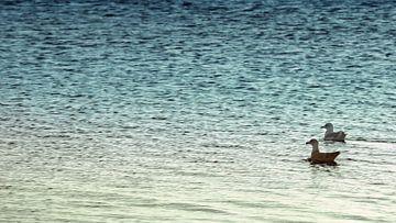 Zeemeeuwen