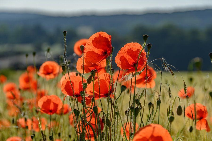 poppies van Heinz Grates