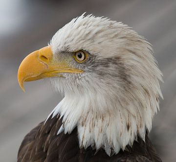 Amerikaanse Zeearend / Arend / Eagle von A. Oskam