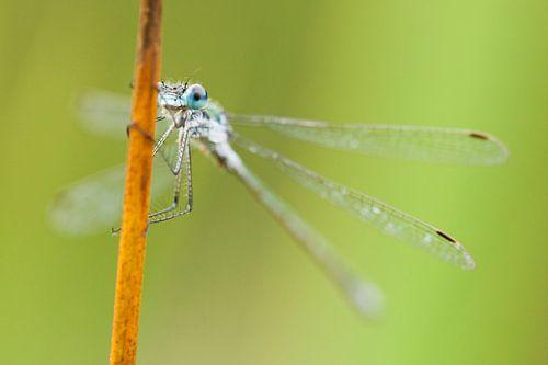 Emerald Damselfly (Lestes sponsa) resting on reed