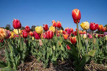 Tulpen von Hélène Wiesenhaan