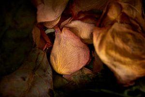 Gedroogd bloemblad van een roos