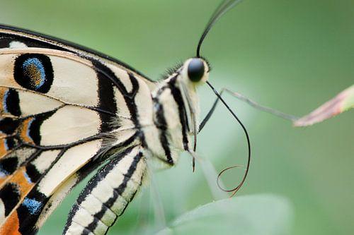 Tropisch vlinderfestival sur