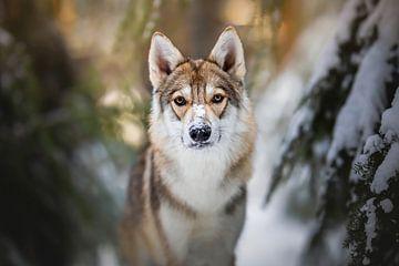 Wolfshond (Tamaskan) portret in de sneeuw van Lotte van Alderen