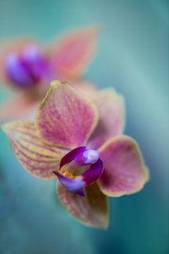 Phaleanopsis Orchideeën