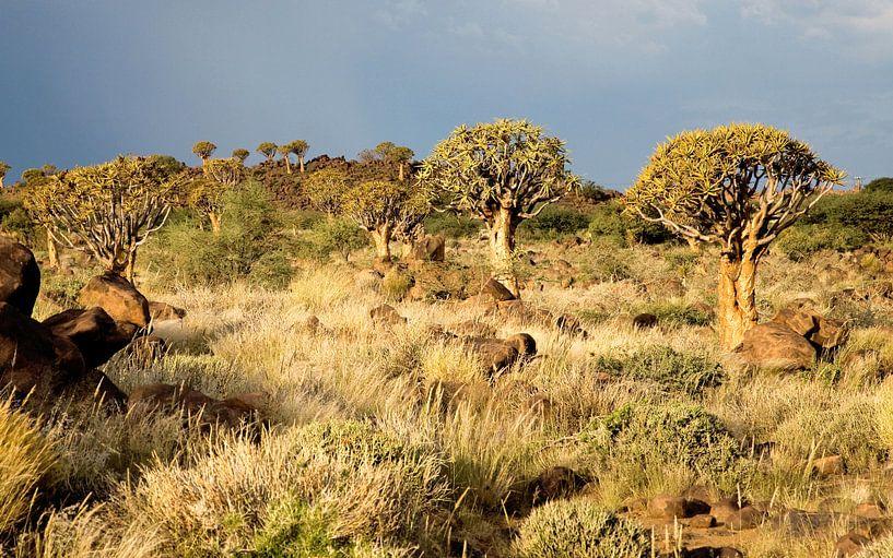 Woud van kokerbomen Namibië van Jan van Reij