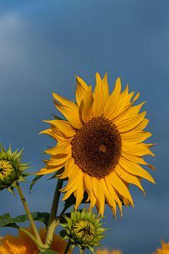 Sonnenblume von Stefan Heesch