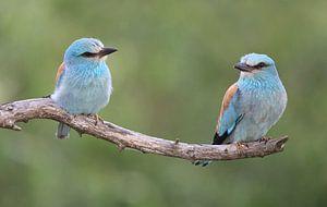 2 Scharrelaars op een tak