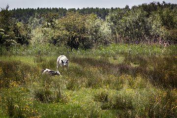 Twee runderen in een natuurlijk weiland van Peter de Kievith Fotografie