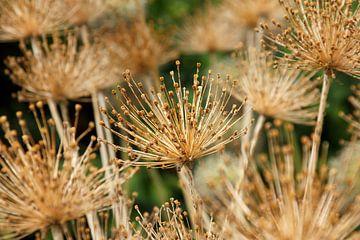 Allium van Sigrid Olschinski