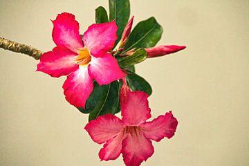 Composition : Rose du désert sur Eduard Lamping