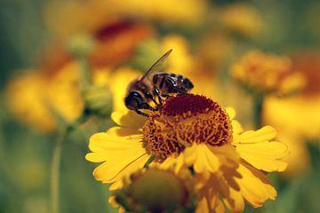 Helenium avec des abeilles  sur Jolanta Mayerberg
