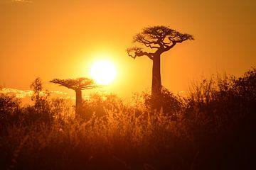 Affenbrotbäume (Adansonia Grandidieri) bei Sonnenuntergang in Madagaskar von Catalina Morales Gonzalez