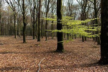 Het eerste lentegroen in het bos van Cilia Brandts