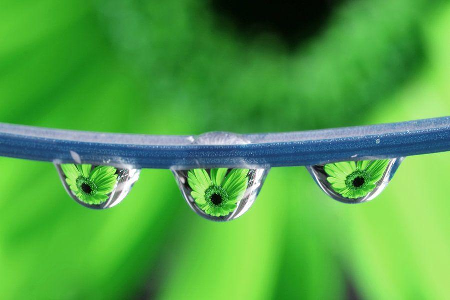 Triplet Gerbera (groen) van Jacqueline Gerhardt