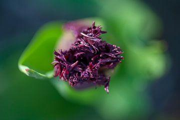 Close-up van paarse tulp