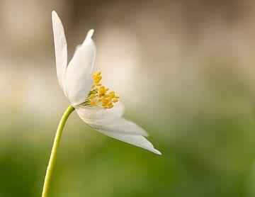 Frühlingsblum von Joris Pannemans - Loris Photography