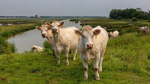 Koeien in een natuurgebied
