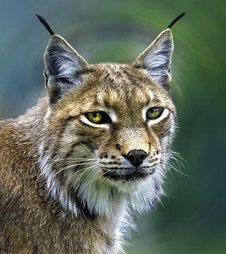 Portrait of a lynx van Nildo Scoop