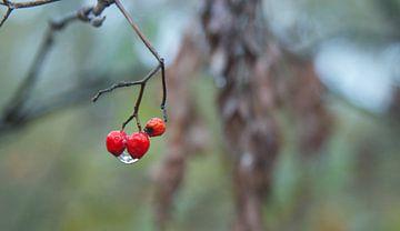 Rode herfst bessen met waterdruppel sur Maurice Welling