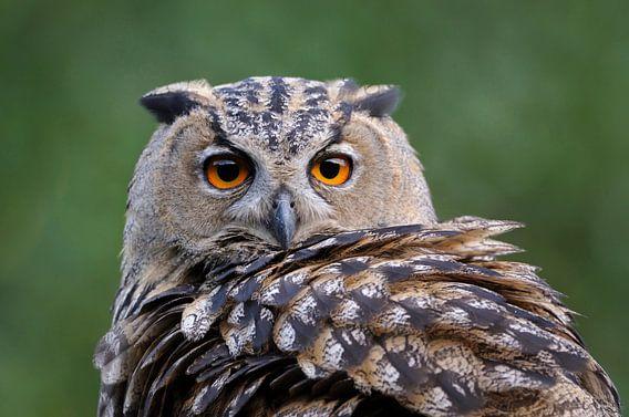 Eurasian Eagle Owl ( Bubo bubo ), head shot