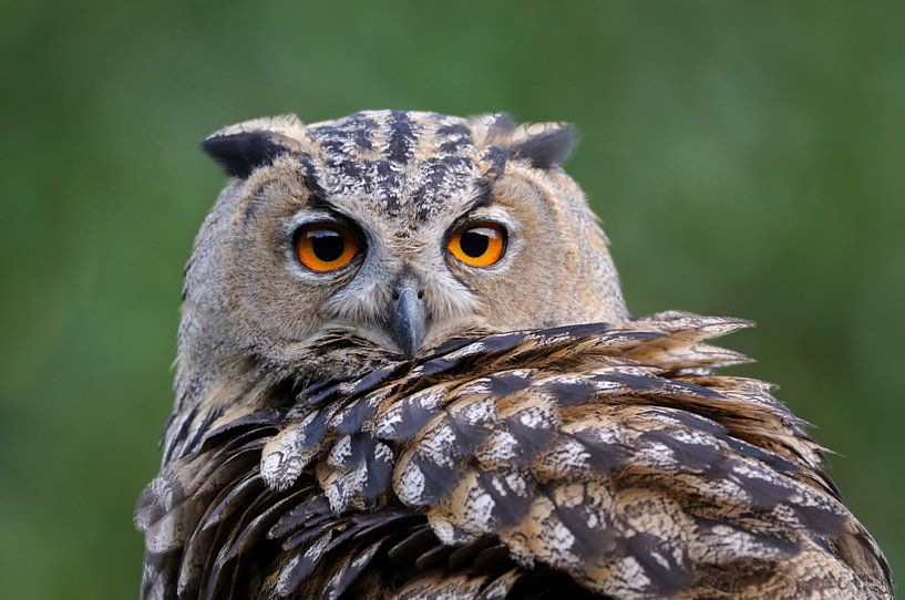 Eurasian Eagle Owl ( Bubo bubo ), head shot van wunderbare Erde