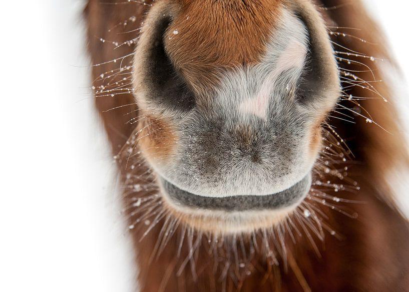 Curious von Islandpferde  | IJslandse paarden